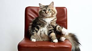 Картинки Кошки Стулья Животные
