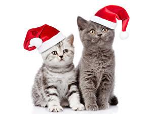 Картинки Кот Рождество Белый фон Котята Двое Шапка животное