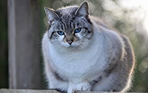 Фотографии Коты Крупным планом Размытый фон Смотрит Burmilla