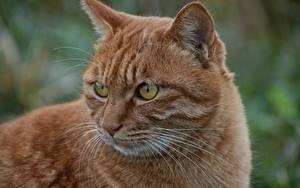 Обои Кошки Вблизи Рыжий Усы Вибриссы Взгляд Морды Животные