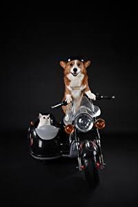 Фотографии Коты Собака Вельш-корги Очки На черном фоне животное