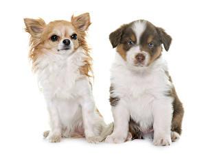Фотография Кошки Собака Белым фоном Двое Овчарки Чихуахуа Щенка Животные