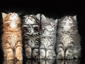 Картинка Кошки Четыре 4 Черный фон Пушистый животное