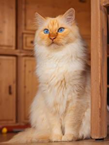 Фотография Кот Рыжий Смотрит Животные