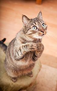 Картинки Кошка Взгляд животное