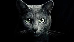Фото Кошки Взгляд Черный фон Морда Животные