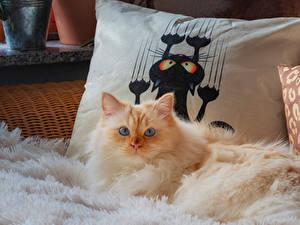 Обои для рабочего стола Коты Смотрит Пушистая животное