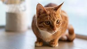 Фото Коты Взгляд Рыжий Животные