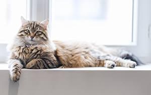 Картинки Кошки Взгляд Лежа Животные