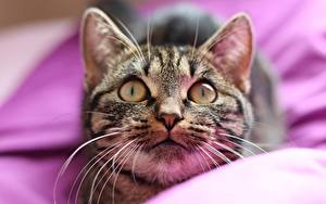 Картинка Кошка Смотрят Морды Усы Вибриссы Животные