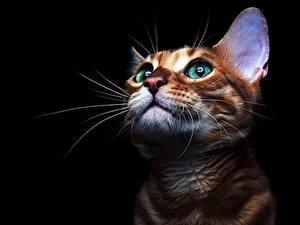 Картинки Коты Взгляд Усы Вибриссы Черный фон Морда Животные
