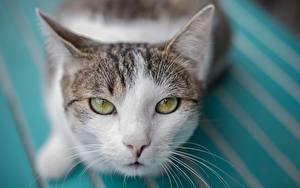Фотография Кошки Взгляд Усы Вибриссы Морда Животные