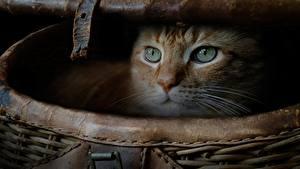 Фото Коты Смотрит Корзина животное