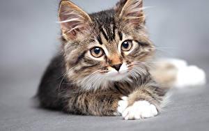 Обои Кошки Серый фон Котята Смотрит Морда Животные