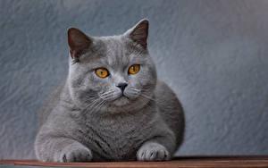 Обои Кошки Серый Смотрят Морда