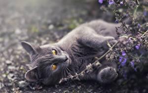 Картинка Кошки Серая Лап Лежа