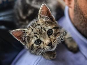 Картинки Коты Котенок Смотрит Усы Вибриссы Миленькие животное