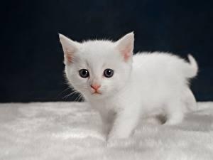 Обои Коты Котенок Смотрит Белая животное