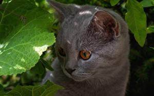 Фотография Коты Котенок Морды Серая Смотрит животное
