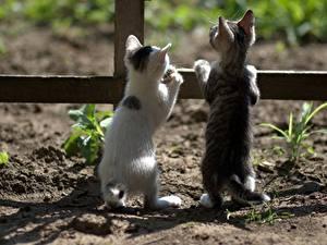 Картинка Кот Котенок Двое Вид сзади Забора животное