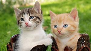 Фото Кошки Котята Два Смотрят Животные