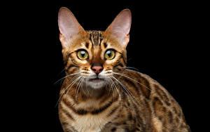 Фотографии Коты Бенгальская кошка Черный фон Смотрит Животные