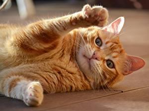 Обои Кошки Лежит Рыжие Лапы Взгляд животное