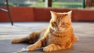 Фотография Кот Лежит Рыжий Лап Смотрит животное