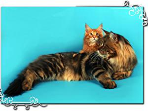 Картинки Кошка Мейн-кун Цветной фон Двое Животные
