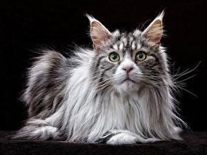 Фотография Коты Мейн-кун Смотрит На черном фоне животное