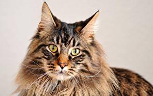 Обои Кошка Мейн-кун Смотрит Морда животное