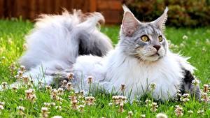 Картинки Коты Мейн-кун Траве Смотрят Пушистый животное