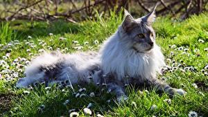 Фото Кот Мейн-кун Трава Лежа Пушистый животное