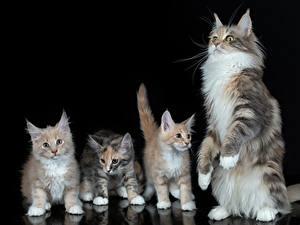 Фотография Коты Мейн-кун Котенка Черный фон Четыре 4 животное