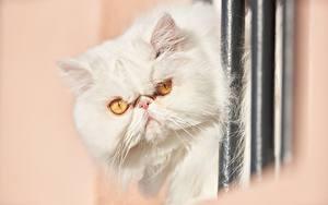 Картинка Коты Персидский кот Белый Смотрят Недовольство