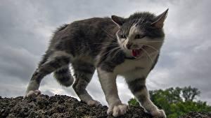 Фотография Кошки Злость Животные