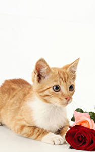 Картинки Кошки Роза Белом фоне Котенка Рыжий