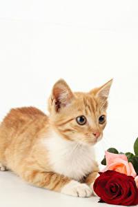 Картинки Коты Розы Белый фон Котята Рыжий Животные