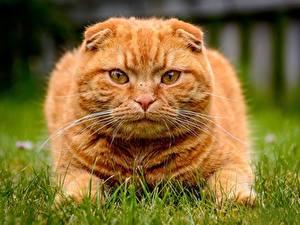 Картинка Коты Шотландская вислоухая Взгляд Рыжий Траве Морда Усы Вибриссы животное