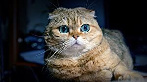 Фотографии Кошка Шотландская вислоухая Взгляд Морда животное
