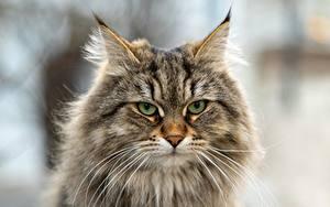 Картинка Кошки Морда Усы Вибриссы Взгляд Пушистый Siberian cat Животные