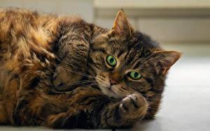 Картинка Кошки Морда Толстая Лап животное