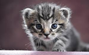Фото Кошки Морда Котенок Смотрят Животные