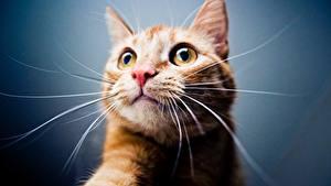 Картинки Кошка Морды Усы Вибриссы Взгляд Головы Животные