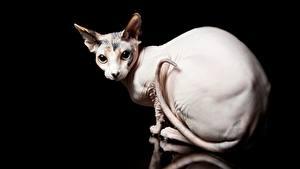 Картинки Кошки Сфинкс кошка Черный фон животное