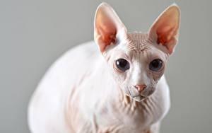 Фотография Коты Сфинкс кошка Боке Смотрят Голова животное