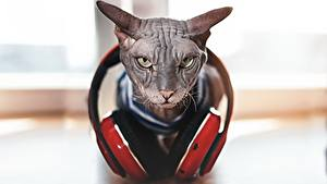 Фотографии Кошки Сфинкс кошка Наушники Хмурость Боке