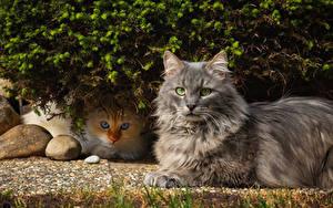Фотография Кошка Двое Смотрит животное