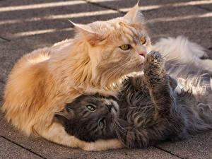 Фото Кошки 2 Серые Рыжая