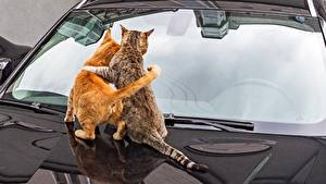 Картинка Коты 2 Обнимает Стекле Вид сзади Капот животное
